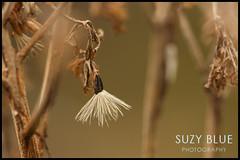 Hemp Agrimony seed