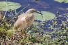 Squacco Heron (Ardeola ralloides) by Ardeola