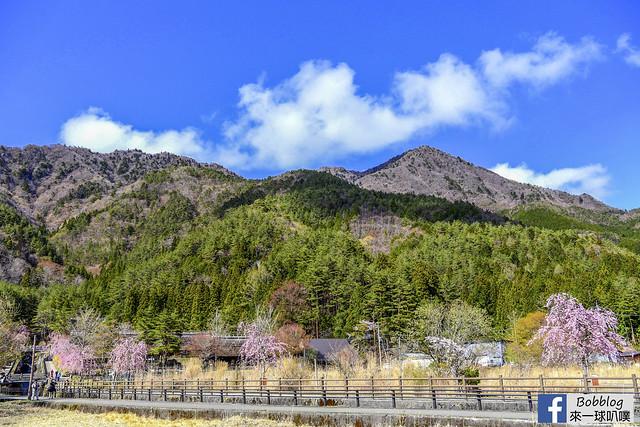 西湖療癒之鄉根場櫻花-43