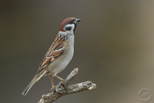 Feldsperling - Tree sparrow - Passer montanus