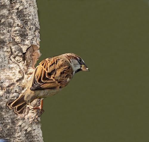 Gorrión común. House Sparrow (Passer domesticus)