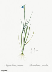 Narrow-leaf blue-eyed-grass illustration from Les liliacées (1805) by Pierre Joseph Redouté (1759-1840). Digitally enhanced by rawpixel.