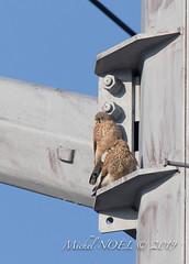 Faucon crécerelle Falco - tinnunculus - Common Kestrel : Michel NOËL © 2019-8783.jpg