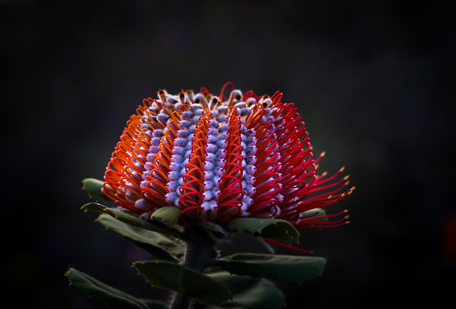 Scarlet banksia- Banksia coccinea
