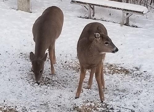 20181205.two.deer