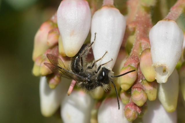 Wild bee working new flowers of Bigberry Manzanita