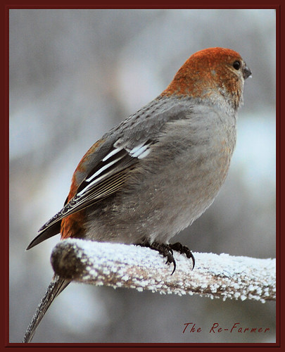2018-12.birds.pine.grosbeak.female