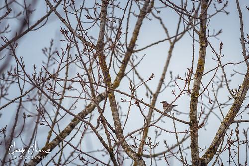 Grive litorne (Turdus pilaris)