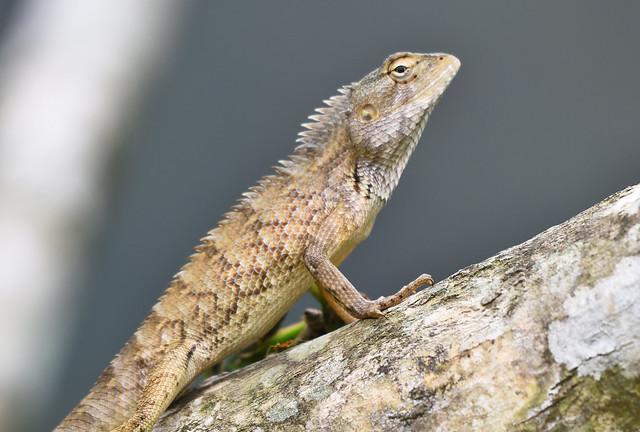 Lizard, Nikon D5600, AF-S Nikkor 200-500mm f/5.6E ED VR