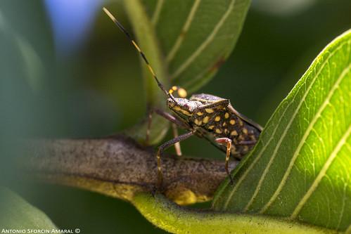 Hemiptera: Heteroptera
