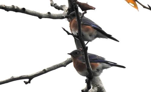 Eastern Bluebird - Portland, OR 11-26-18 021