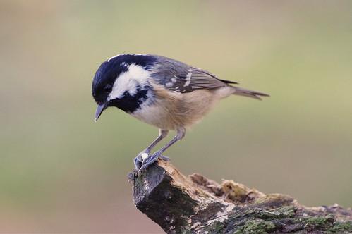 barnwellcountrypark nature wild bird wildlife woodland coaltit periparusater