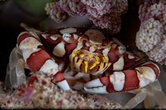 harlequin crab, dunia baru night, wakatobi, 2018