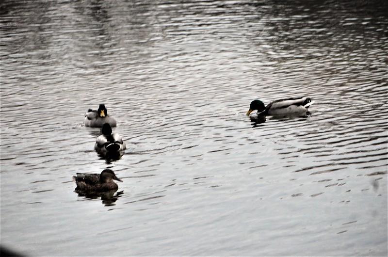 Ducks A 28.11 (2)