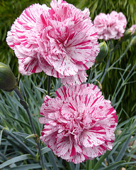 Dianthus Pinball Wizard CLOSE 05-18 ADJ CROP