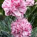 Dianthus Pinball Wizard CLOSE 05-18 ADJ CROP