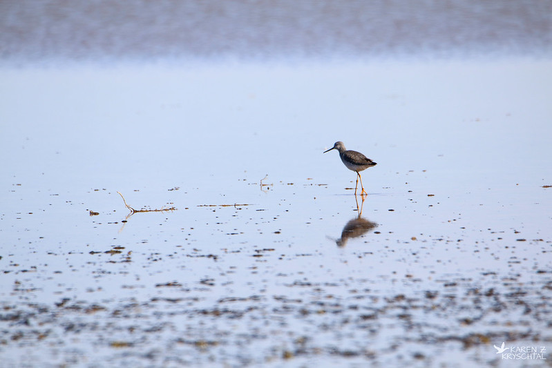 IMG_7187GreaterYellowlegs