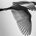 B&W Cattle Egret (Bubulcus ibis), Haiti