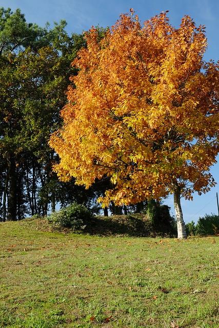 carballo de follas amarelas