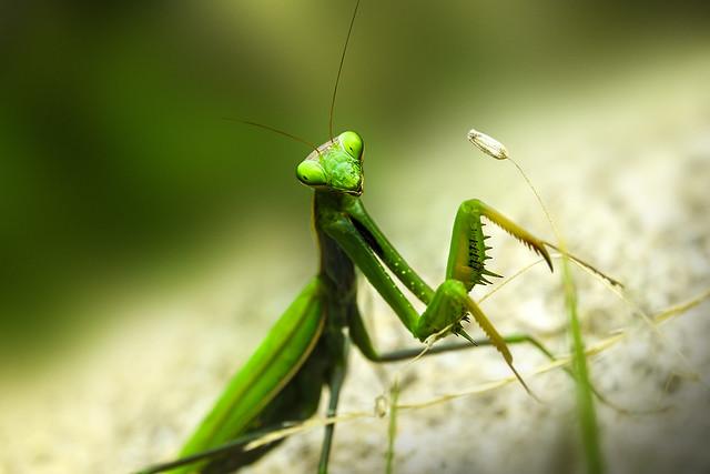 Green mantis, Canon EOS 550D, Sigma 17-70mm f/2.8-4 DC Macro OS HSM