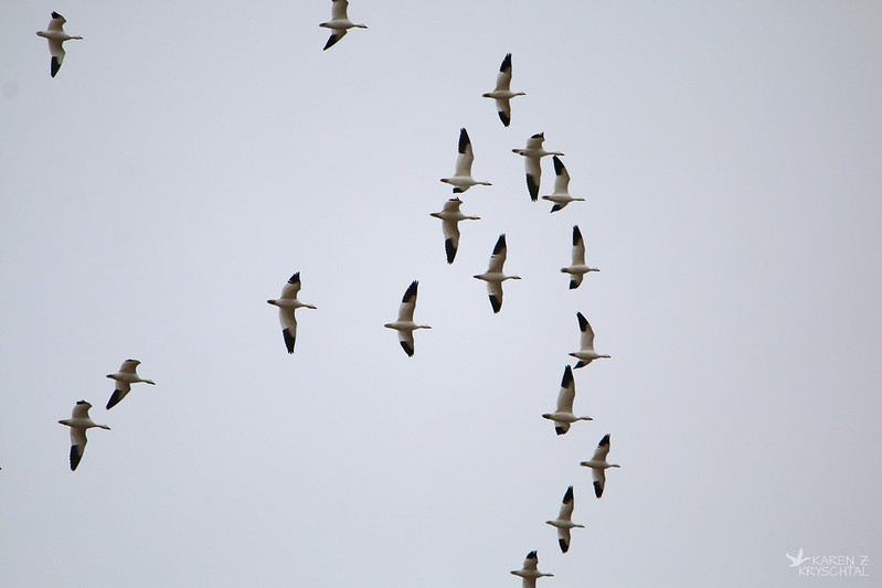 IMG_7957SnowGeese