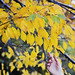 Yellow Leaves at the Tidal Basin