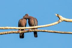 Belize Red-billed Pigeon