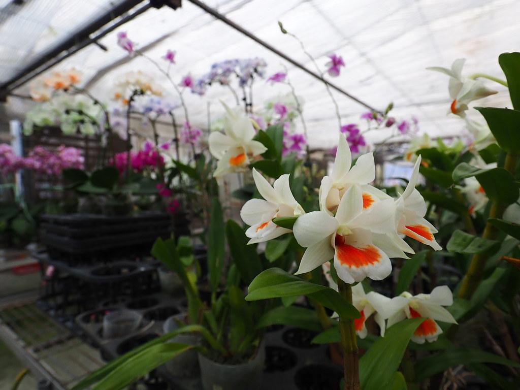 山上蘭科植物園 (16)