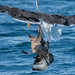 D988986 Great Skua Attacked by Great Black-backed Gull