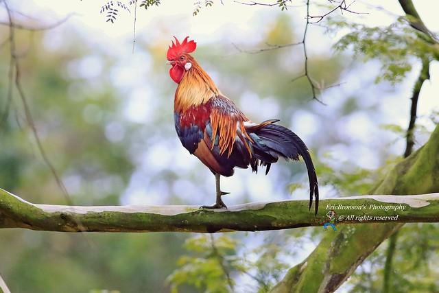F8A5459 Red jungle fowl, Canon EOS 7D MARK II, EF400mm f/5.6L USM