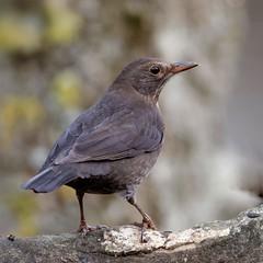 oiseaux de mon jardin 2019
