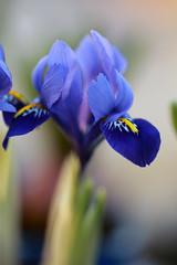 Cet iris, ne me fera pas le printemps...