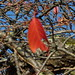 Red leaf on a tree - Church Hill Road, Solihull