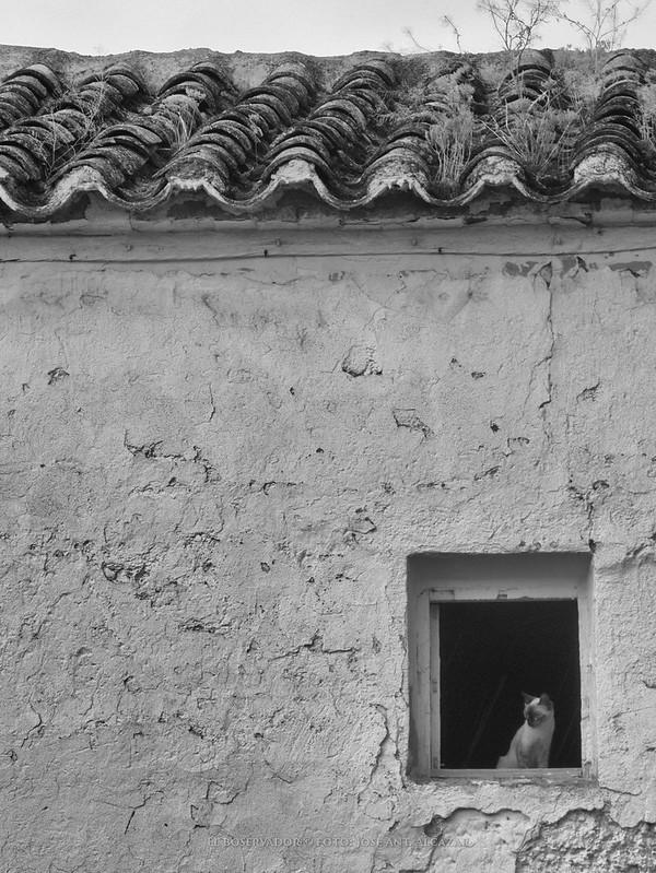 Foto en blanco y negro de un gato mirando por una ventana de una pared encalada, vista desde el exterior.