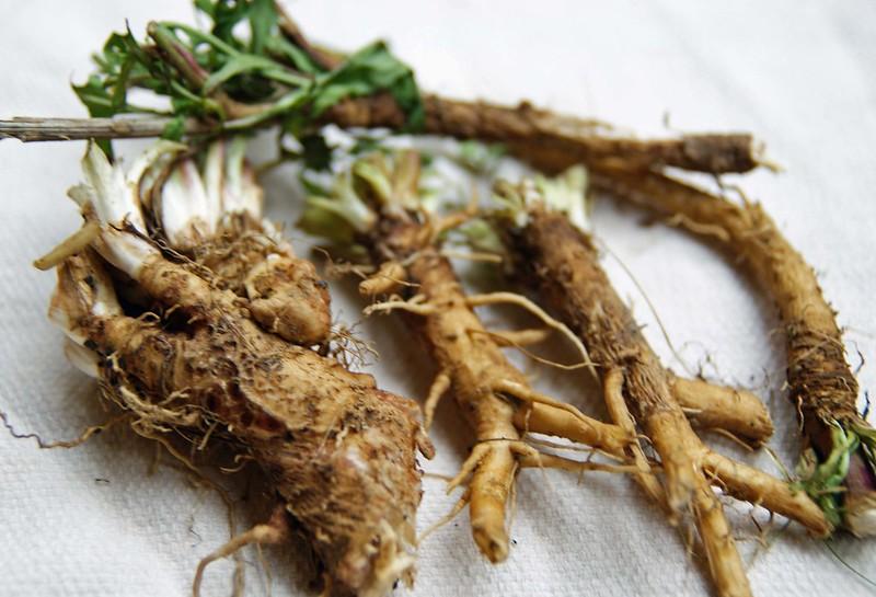 Chicory root - Rễ rau diếp xoăn được người Pháp dùng thay thế cà phê dưới thời Napoleon