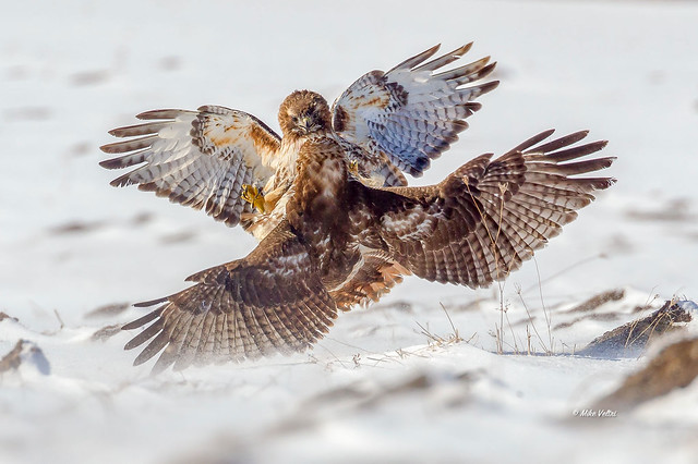 Red-tail dispute