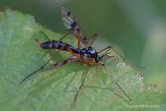 Ptychoptera contaminata  glansmug