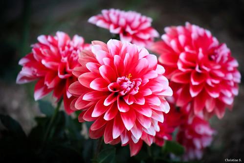 red and white dahlias