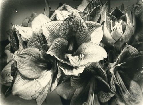 Amaryllis | by Mark Dries