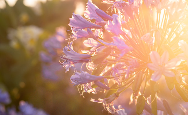 Agapanthus in the afternoon, RICOH PENTAX K-3, smc PENTAX-FA 77mm F1.8 Limited
