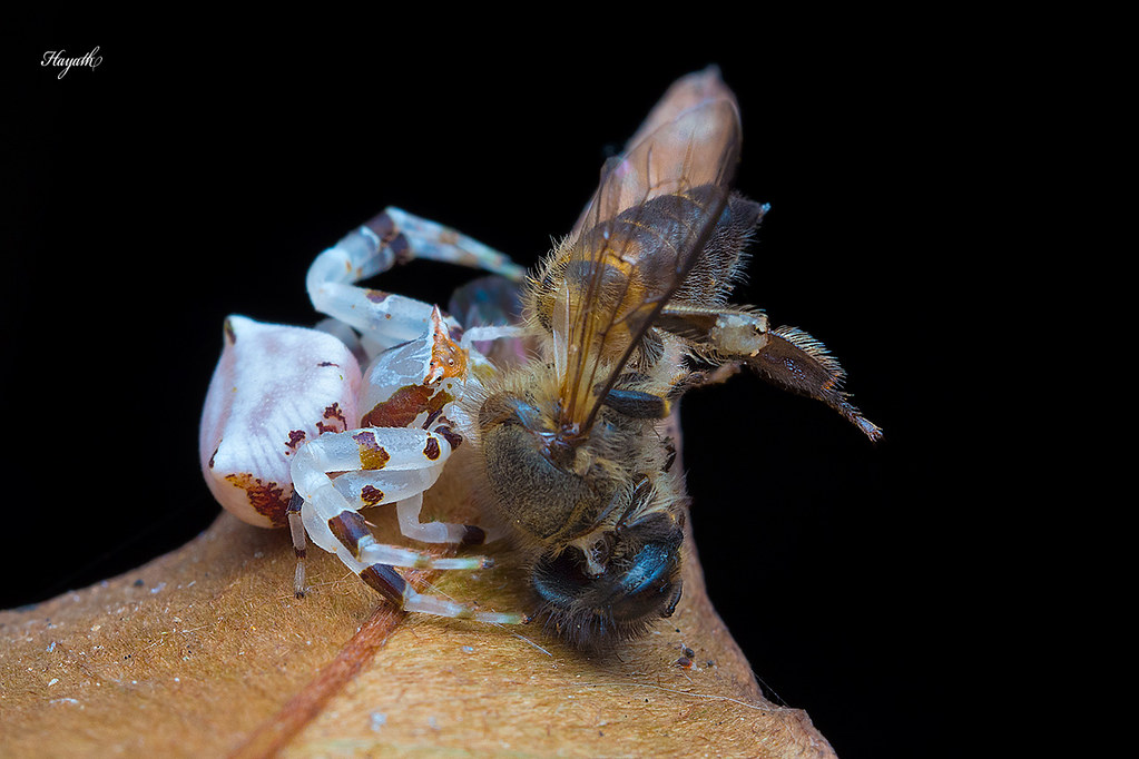 Crab spider with honey bee kill