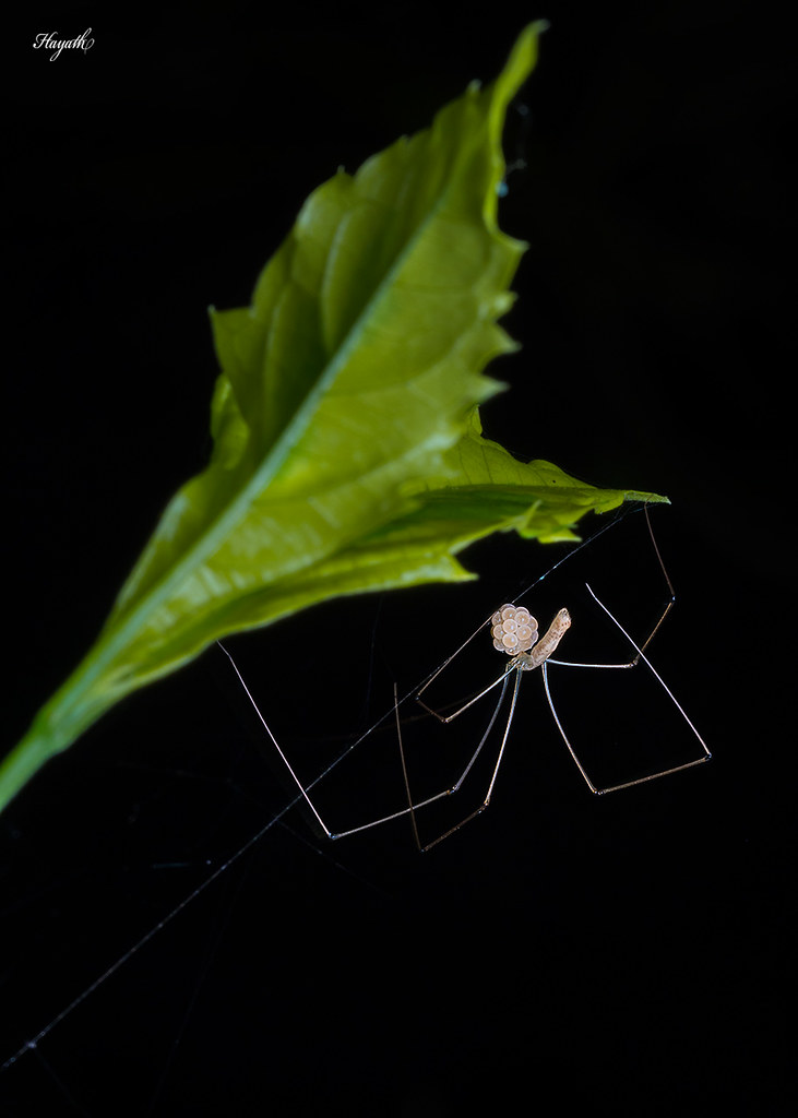 Cellar spider, Pholcidae with eggs