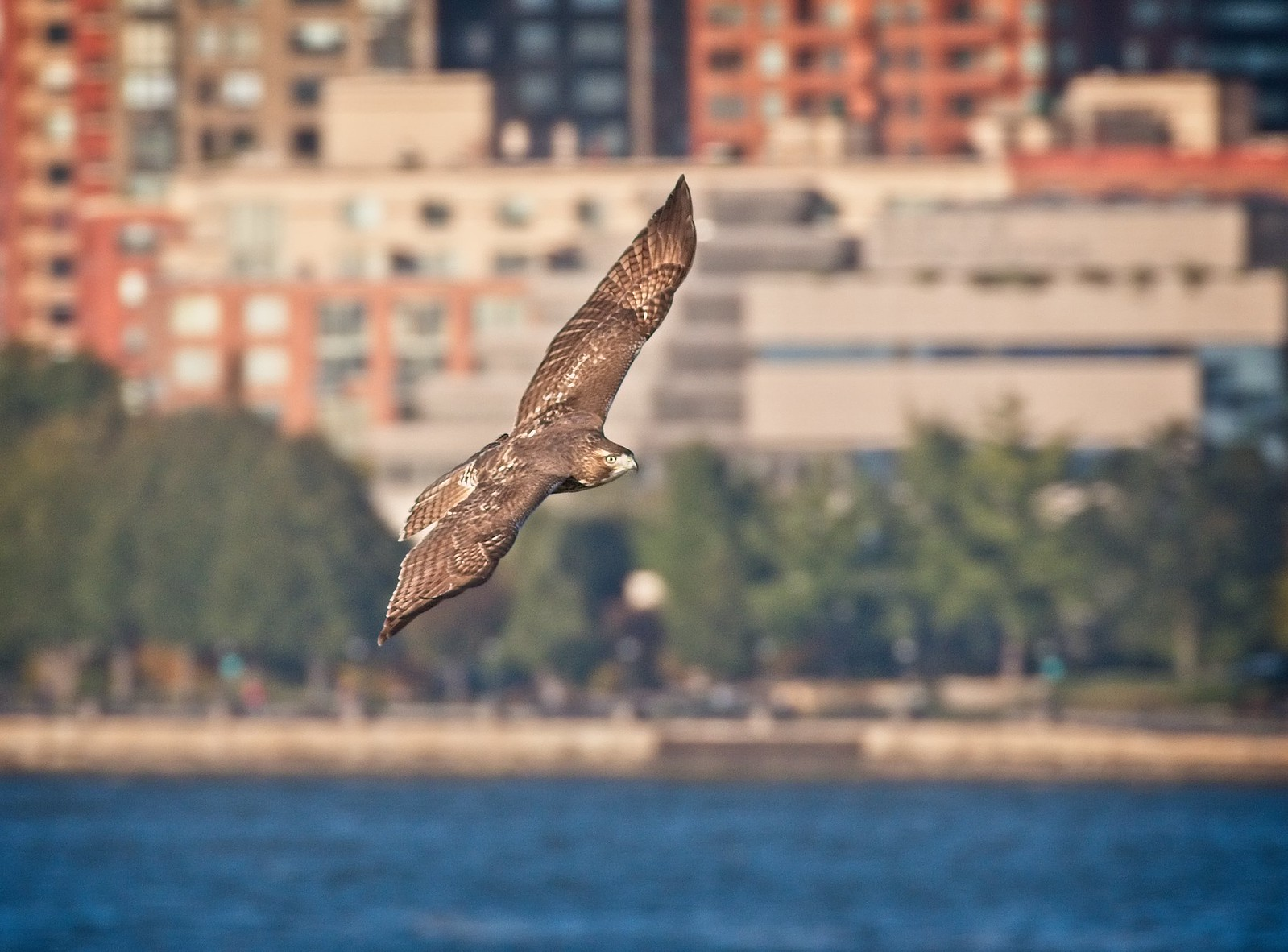 Red-tail flying along Battery Park