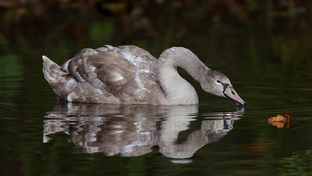 The juvenile white swan and the red leaf (zoom in for more details)
