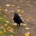Carrion crow, Wollaton Park