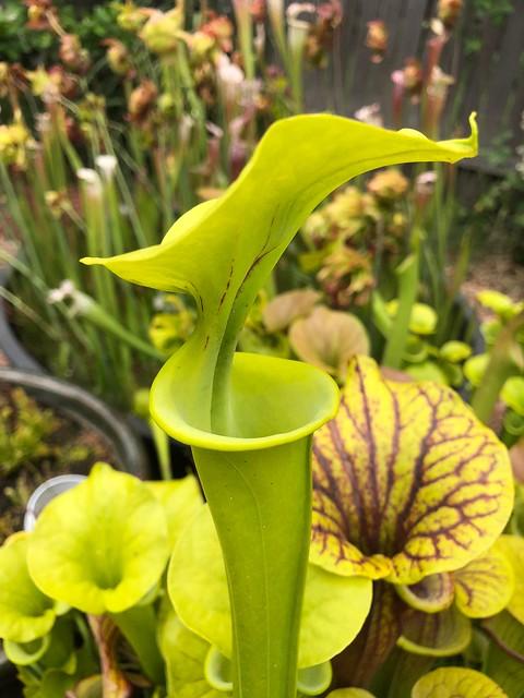 Sarracenia flava var. flava 'Helmut's giant'