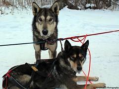 Portrait of Alaskan Huskies-Team Redington W 046