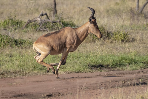 Topi (Damaliscus lunatus jimela) Ngorongoro Conservation Area, Tanzania 2019