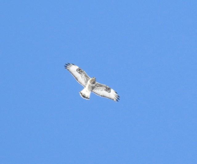 Rough-legged Hawk, pale phase