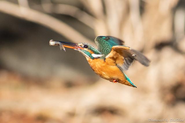 20190202-kingfisher-DSC_0814